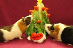 guinea pig Christmas tree!