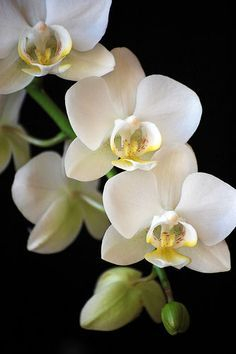 """White Phalaenopsis Orchids are found in the Rain-forests of South America and grow off the base of trees like a weed. To us they are beauty to be <a href=""""http://cherished....to"""" rel=""""nofollow"""" target=""""_blank"""">cherished....to</a> the trees they creep up, they are poison.....x"""