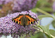 "Small Tortoiseshell Butterfly ""Aglais urticae"""