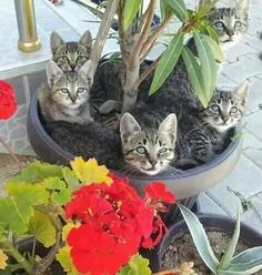 A group of beautiful cats sitting in a garden planter. Love the red accent flowers! Cute Cats And Kittens, Cool Cats, Kittens Cutest, Pretty Cats, Beautiful Cats, Animals Beautiful, Animals And Pets, Funny Animals, Cute Animals