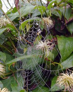 Dewy spider web on a clematis by Ron Pradetto