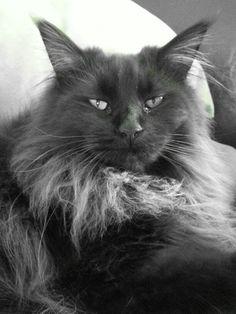 Maine coon Kayla....mijn black beauty ♥