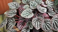 Peperomia caperata is a small houseplant with very dark green leaves, lovely red to purple stems and interesting rat tail shaped flowers. It's a species much appreciated by terrarium keepers …
