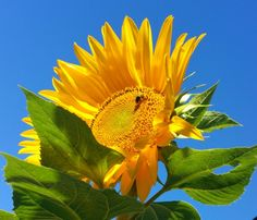 Sunflower sky Sunflowers, Sky, Plants, Heaven, Flora, Plant, Sunflower Seeds, Planting