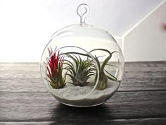 What an amazing way to display these unique plants! This hanging air plant terrarium kit comes with a glass globe and a combination of 3 different air plants. The type of plants you receive will depen Kit Terrarium, Hanging Terrarium, Air Plant Terrarium, Unique Plants, Exotic Plants, Green Plants, Hanging Air Plants, Indoor Plants, Indoor Gardening