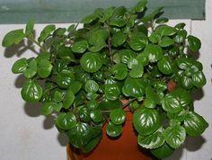 La planta del dinero o Plectranthus verticillatus  pertenece a la familia de las Lamiaceae, este género cuenta con unas 350 especies. E...