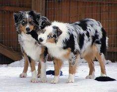 The Australian Shepherd. Gorgeous dog and a brilliant mind!!