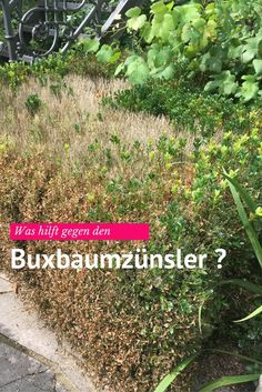 Was kann man gegen den Buxbaumzünsler tun?