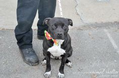 Meet Subi a Petfinder adoptable Pit Bull Terrier Dog | Wantagh, NY | Subi was brought to the shelter in November 2013 along with her five pups and their daddy. Subi's...