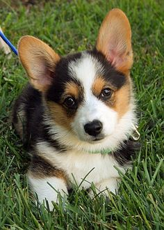 Miles the Pembroke Welsh Corgi     Now how could I possibly be expected to resist a corgi named Miles???? corgis
