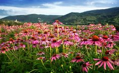 6 Health Benefits And Uses For Echinacea | Care2 Healthy Living