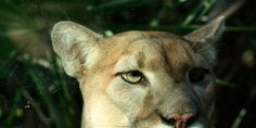 Only around 250 Florida panthers exist in the world. (93869 signatures on petition)