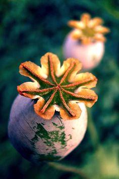 Orange Crown Top Poppy Pods