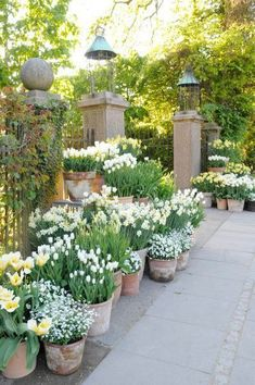 Container Gardening Ideas Beautiful french cottage garden design ideas 45 white bulbs mass planted in aged terracotta pots beautiful garden design Inspriation Patio Garden, Spring Garden, Plants, Cottage Garden, Gorgeous Gardens, Outdoor Gardens, Dream Garden, Garden Containers, Beautiful Gardens