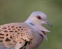 TORTORA Bird, Animals, Animales, Animaux, Birds, Animal, Birdwatching, Animais