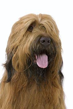 Бриар   каталог пород собак Royal Canin