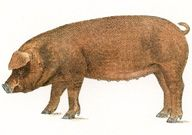 The Complete Guide to Pig Breeds both Commercial & Heritage
