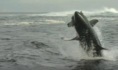 Witness the awesome power and aerobatics of great white sharks in South Africa >> http://dsc.tv/OsvSO