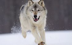Tapping Your Inner Wolf Lobo Wallpaper, Wildlife Wallpaper, Wallpaper Pictures, Animal Paintings, Animal Drawings, Jikook, Animals And Pets, Funny Animals, Adorable Animals