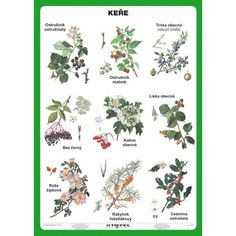 keř Autumn Activities For Kids, Montessori Materials, Brain Training, Science And Nature, Botanical Illustration, Botany, Kids Learning, Education, Drawings