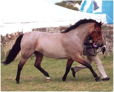 Shows & news 2009 - Applewitch New Forest Pony Stud     Bay roan
