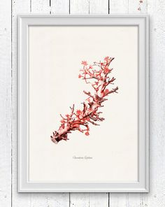 Antique sealife Illustration -Red choral Clavularia n3 - sea life print-Marine  sea life illustration A4 print SPC018