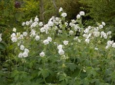 Geranium phaeum 'Album'Good for dry shade