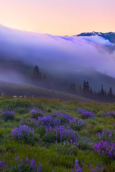 Purple Haze over Hurricane Ridge ~ Olympic Mountains,  Washington