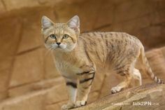 sand dune cat - Yahoo Image Search results