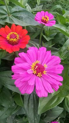 Zinnias, Wonders Of The World, Flower Art, Nature, Plants, Beautiful Flowers, Landscape, Photos, Flowers