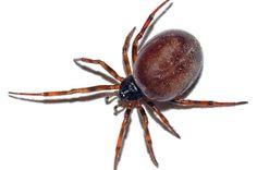Poisonous Spiders UK | False widow: Ten facts about Britain's most poisonous spider that ...
