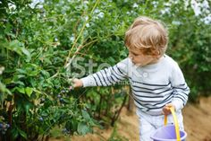 Little boy picking blueberry on organic self pick farm Royalty Free Stock Photo