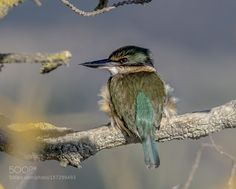 New Zealand native Kingfisher by scsutton via http://ift.tt/1XwMIuO