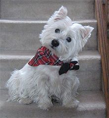 Westie, I love Westies. they're so cute.