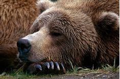 "Katmai bear (#68) having ""sweet bear dreams"" after lunch."