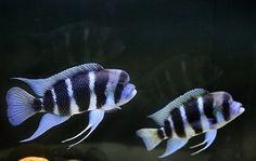 F1 Frontosa - Moba Purple ,Mpimbwe Blue & Burundi Frontosa cichlids Live fish