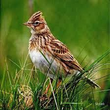 Skylark of the UK and Ireland The Skylark (alauda arvensis) is a very popular bird owing to its beautiful and joyful song as it hovers in the sky. It is the only native species of Lark in Ireland and one of two species (Woodlark) of resident Larks in the UK.