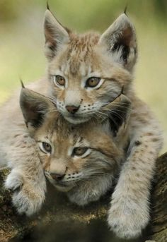 chats sauvages, deux petits chats qui s'aiment