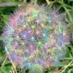 Rainbow Dandelion