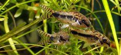 Salt and Pepper Catfish Corydoras habrosus