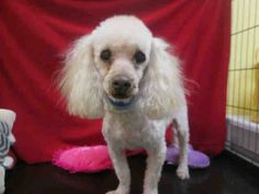 ROMEO - ID#A1477687  My name is Romeo and I am a neutered male, white Poodle - Miniature and Cocker Spaniel.  The shelter thinks I am about 9 years old. I weigh approximately 13 pounds.  I have been at the shelter since May 25, 2014.  South Los Angeles Animal Care and Control Center at (888) 452-7381 Ask for information about animal ID number A1477687