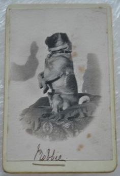 CDV Photograph of an Dog (Pug) Sitting