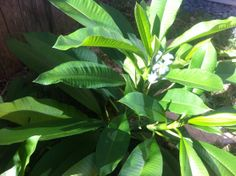 "Next to the plumeria is the ginger that grows under my bedroom window. Both of these plants scream ""tropical"" to me. Who needs to go to a re..."