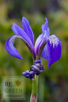 """""""Wild Blue Iris"""" Iris flowers bloom in the wild on the coast of Acadia National Park, Maine. Photograph available as Print, Canvas or Framed.  Buy this photo and plant a tree! www.regreen.net"""