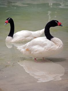 Black-necked Swans (Cygnus melancoryphus) is a swan that is the largest waterfowl native to South America.