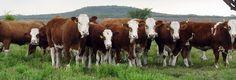 El ganado Simmental o Fleckieh ganó espacio en la consideración de ganaderos de varios países, consecuencia de sus buenas cualidades productivas, docilidad y mansedumbre, buena rusticidad y adaptación a disímiles condiciones medio ambientales. Por. J