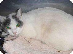 Los Angeles, CA - Domestic Mediumhair. Meet A1574157, a cat for adoption. http://www.adoptapet.com/pet/13587970-los-angeles-california-cat