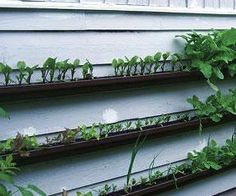 If you want to have a more untraditional and bizarre garden in your home, why not try making yourself a hanging gutter garden. It is quite easy and cheap and it looks great. It is suitable for growing spices, strawberries or other shallow-rooted plants.