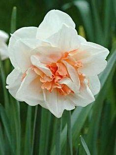 Narcissus 'Replete'.Meine.