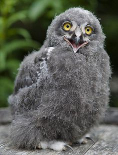 """Snowy Owl * * """" It's such a hoot bein' a 'snowy' owl dat's grey. But I iz just a young un. Weez gets white as we grow."""""""